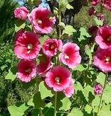 Common Hollyhock - seeds - by 10g