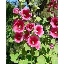 Rose Trémière - semences - par 10g