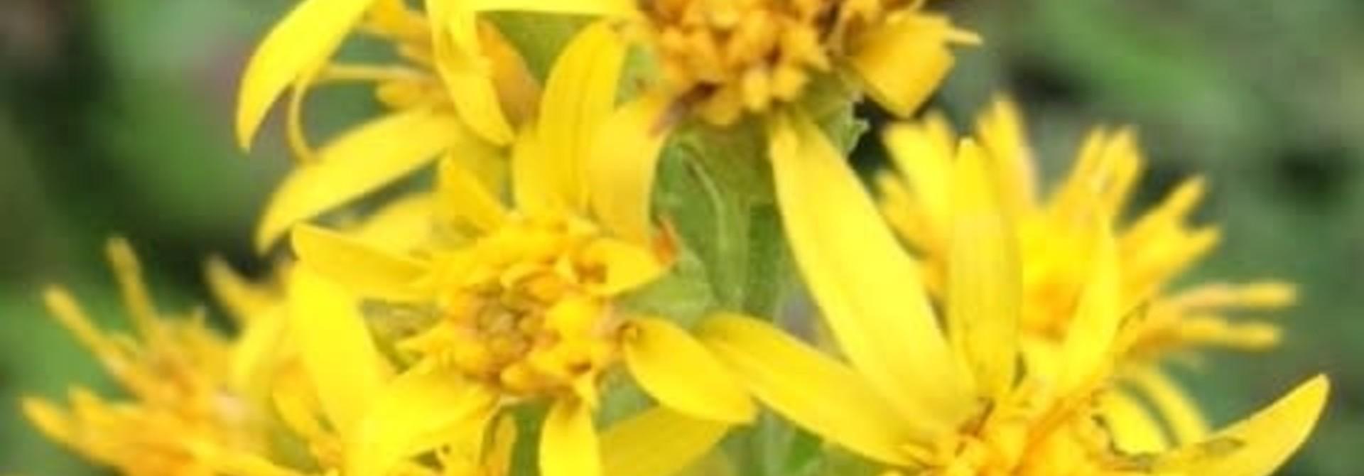 Guldenroede - zaden - per 10g