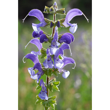 Meadow Clary - seeds - by 10g