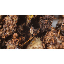 Roofmijt tegen varroa - 10000 mijten