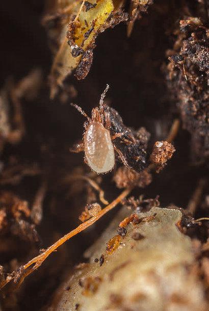 Acarien prédateur contre le varroa - 10000 acariens