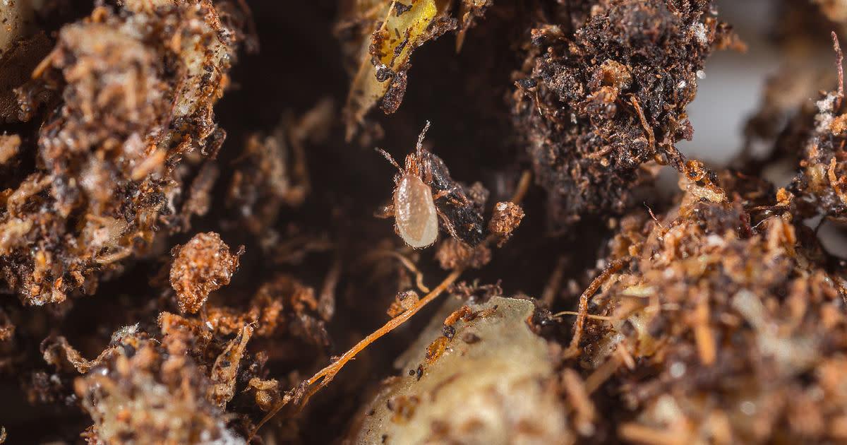 Acarien prédateur contre le varroa - 10000 acariens-1