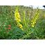 Citroengele Honingklaver - zaden - per 10g