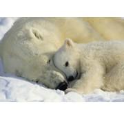 Komar Polar Bears Fotobehang 184x127cm