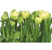 Komar Tulips Fotobehang 368x254cm