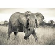 Komar Elephant Vlies Fotobehang National Geographic 368x248cm