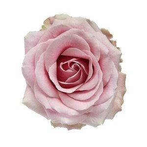 Rozen.nl Pink Avalanche+