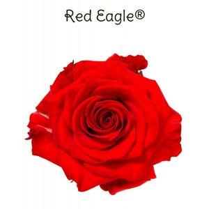 Rozen.nl Red Eagle