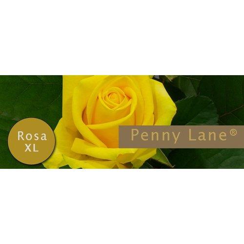 Rozen.nl Penny Lane