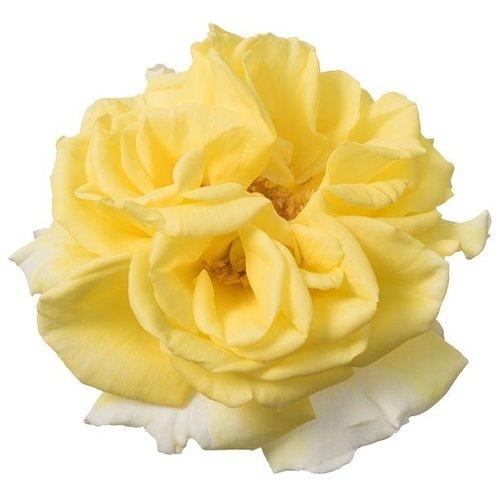 Rozen.nl Rosen zum essen - Lemon