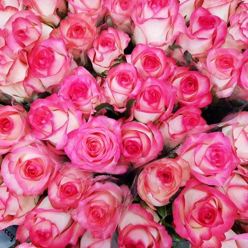 Rozen.nl 20 roze Rosen angebot