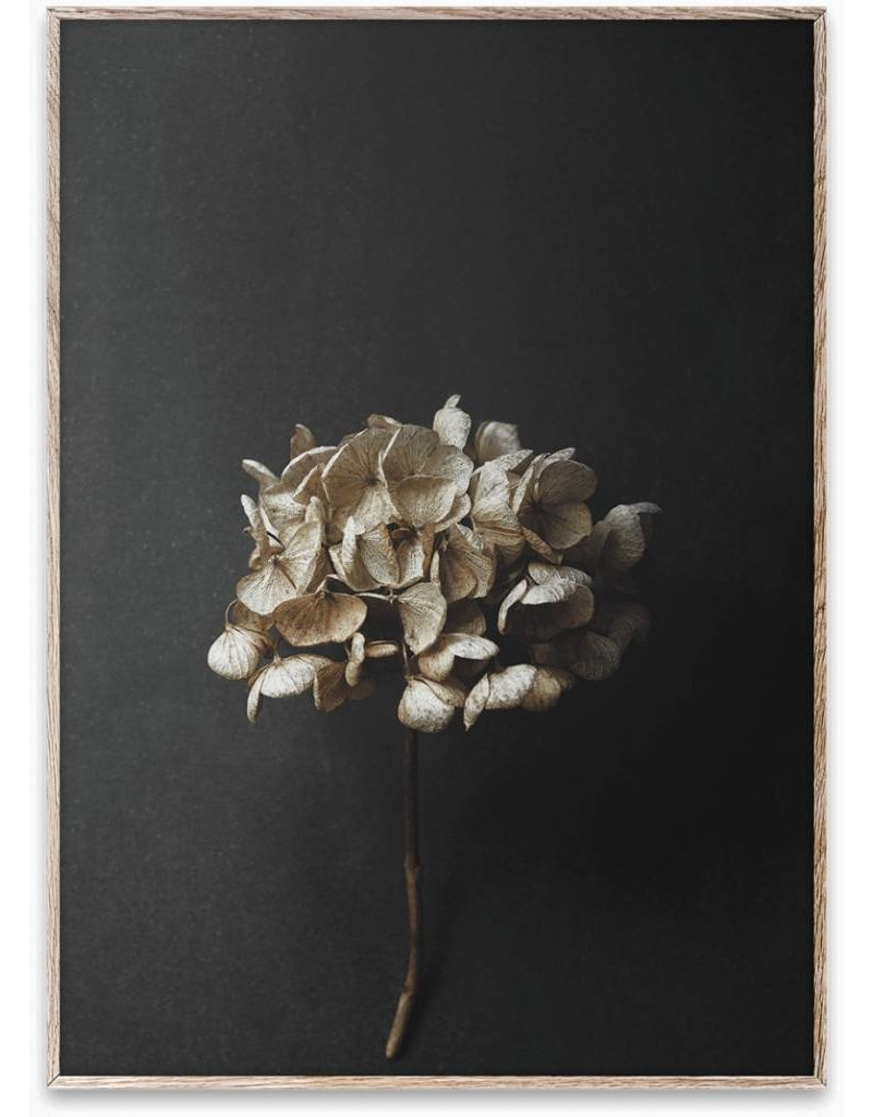 Paper Collective Still Life 04 (Hydrangea) By Pia Winther