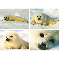 A6 Prentkaarten zeehonden