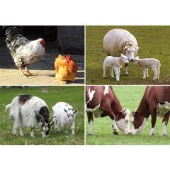 Reuzewenskaart serie 12044 - boerderijdieren