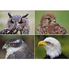 Reuzewenskaarten roofvogels