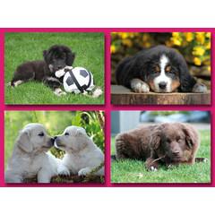 Grote ansichtkaarten jonge honden