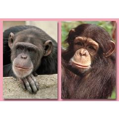 A4 Reuzewenskaarten apen