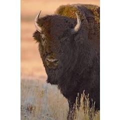 Animal Essences Buffalo (buffel) (30 ml)