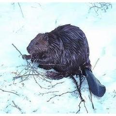 Animal Essences Beaver (bever) (30 ml)