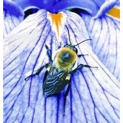 Animal Essences Bumblebee (hommel) (30 ml)