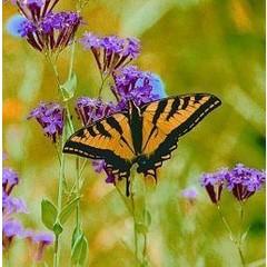 Animal Essences Butterfly (vlinder) (30 ml)