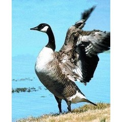 Animal Essences Canada goose (Canadese gans) (30 ml)
