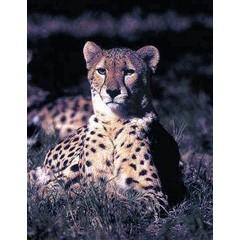 Animal Essences Cheetah (jachtluipaard) (30 ml)