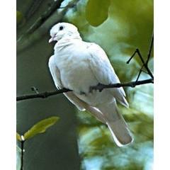 Animal Essences Dove (duif) (30 ml)