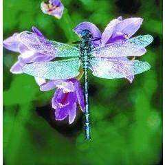 Animal Essences Dragonfly (libelle) (30 ml)