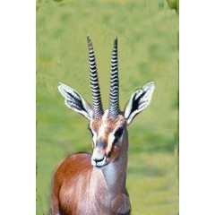 Animal Essences Gazelle (30 ml)