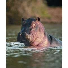 Animal Essences Hippopotamus (nijlpaard) (30 ml)