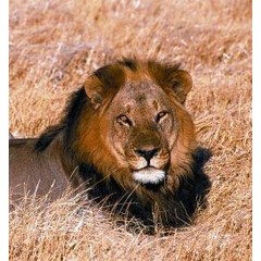 Animal Essences Lion (leeuw) (30 ml)