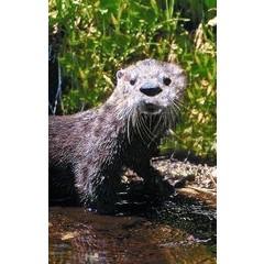 Animal Essences Otter (30 ml)