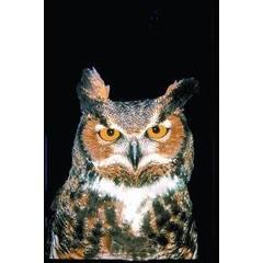 Animal Essences Owl (uil) (30 ml)