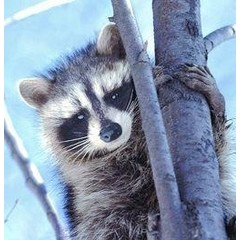 Animal Essences Raccoon (wasbeer) (30 ml)