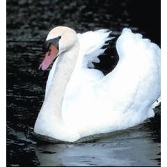 Animal Essences Swan (zwaan) (30 ml)