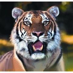 Animal Essences Tiger (tijger) (30 ml)