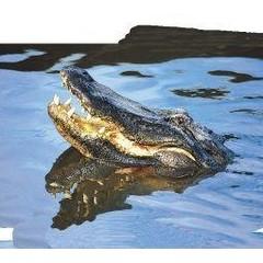 Animal Essences Alligator (30 ml)
