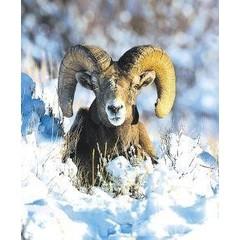 Animal Essences Bighorn sheep (schaap) (30 ml)