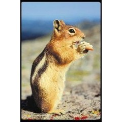Animal Essences Chipmunk (gestreepte eekhoorn) (30 ml)
