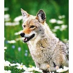 Animal Essences Coyote (prairiewolf) (30 ml)