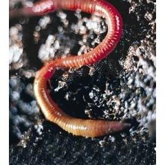 Animal Essences Earthworm (aardworm) (30 ml)