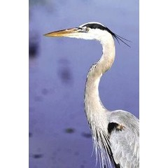 Animal Essences Great blue heron (Amerikaanse blauwe reiger) (30 ml)