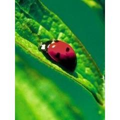 Animal Essences Ladybug (lieveheersbeestje) (30 ml)