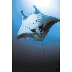 Animal Essences Manta ray (reuzenmanta) (30 ml)