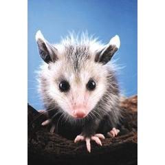 Animal Essences Opossum (buidelrat) (30 ml)