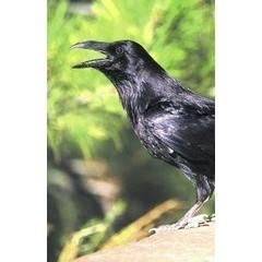 Animal Essences Raven (raaf) (30 ml)