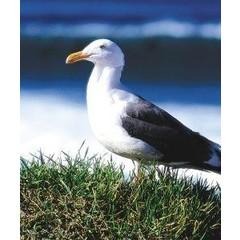 Animal Essences Seagull (zeemeeuw) (30 ml)