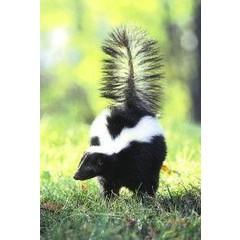 Animal Essences Skunk (stinkdier) (30 ml)